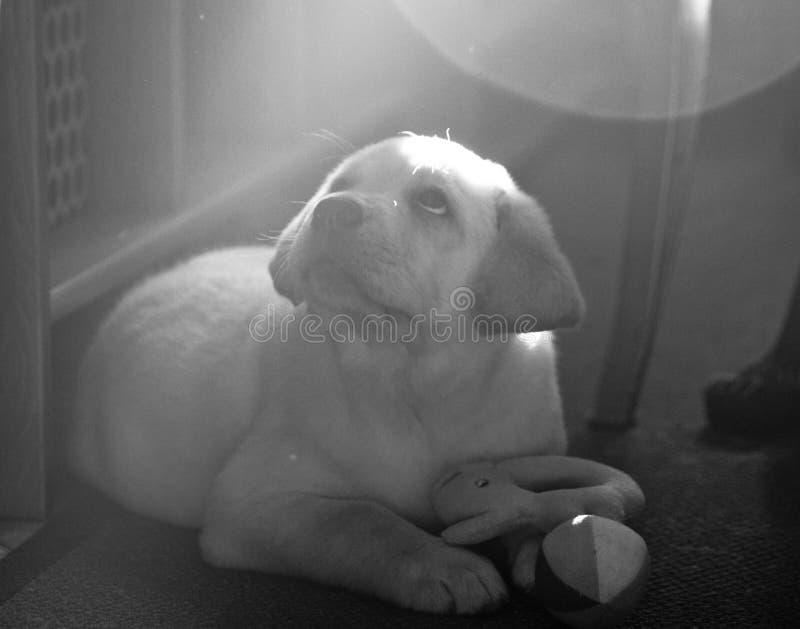 O cachorrinho de Labrador está encontrando-se no assoalho imagem de stock