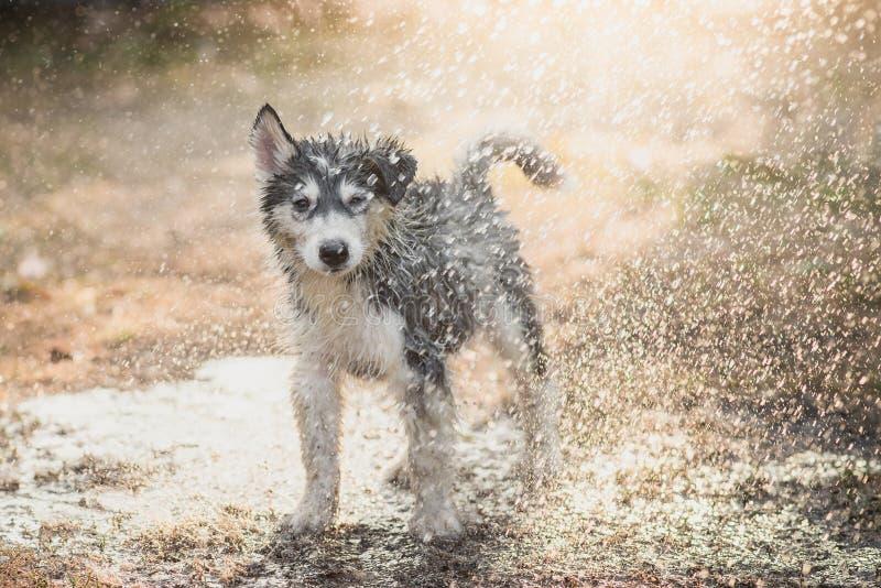 O cachorrinho do cão de puxar trenós Siberian agita a água fora de seu revestimento foto de stock
