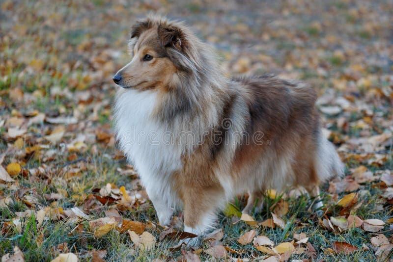 O cachorrinho do cão pastor de Shetland da zibelina está estando no parque do outono Collie ou sheltie de Shetland Fim acima Anim foto de stock