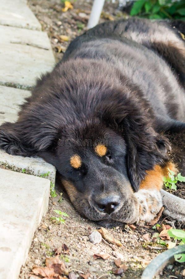 O cachorrinho do mastim tibetano imagens de stock royalty free