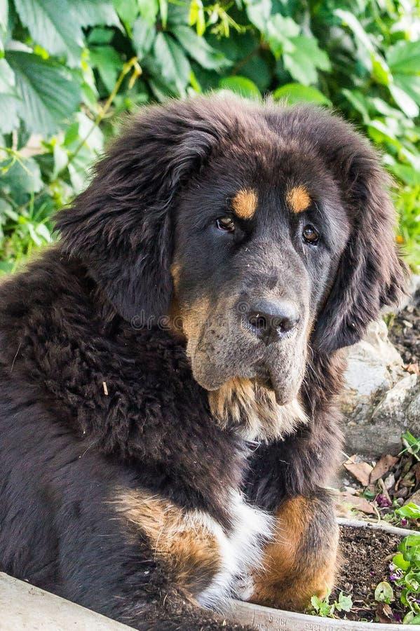 O cachorrinho do mastim tibetano imagem de stock