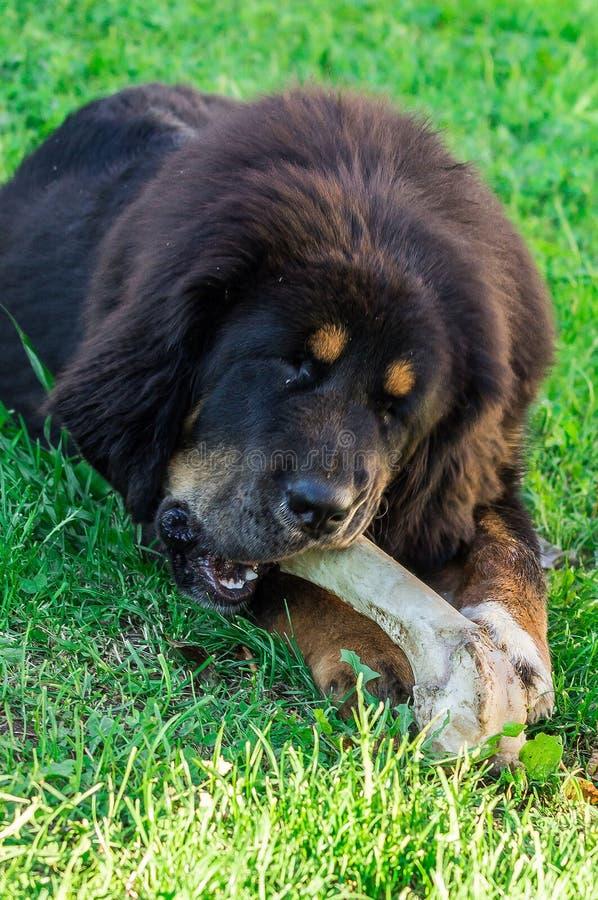 O cachorrinho do mastim tibetano imagens de stock