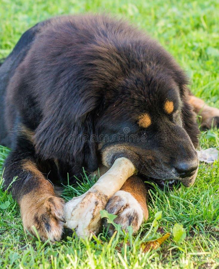 O cachorrinho do mastim tibetano imagem de stock royalty free