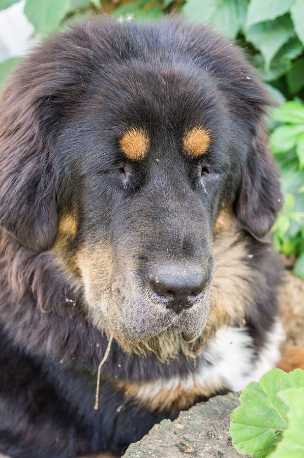 O cachorrinho do mastim tibetano fotos de stock
