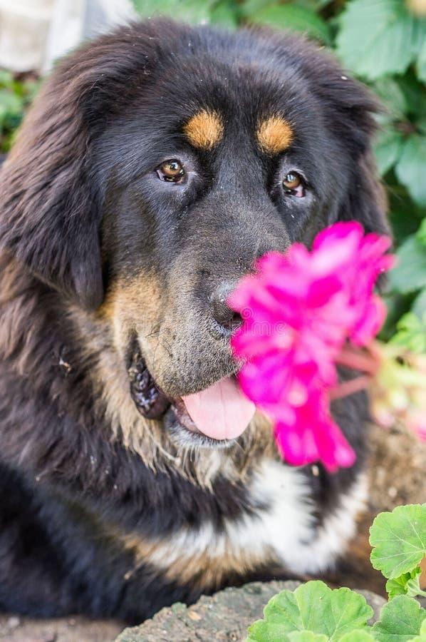O cachorrinho do mastim tibetano foto de stock