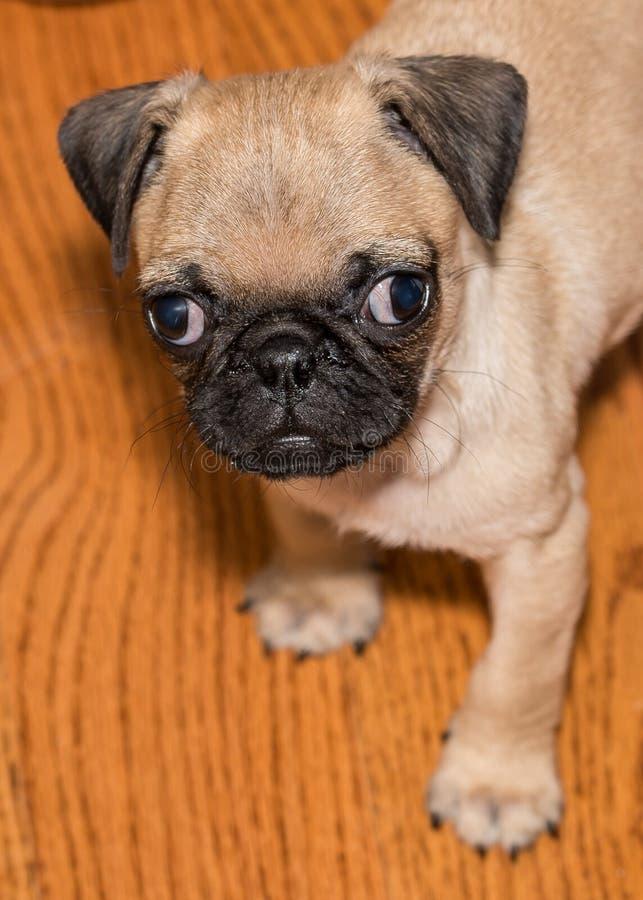 O cachorrinho do Pug diz toma-me home fotografia de stock royalty free