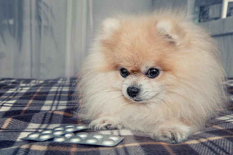 O cachorrinho doente de Pomeranian comeu muito chocolate que encontra-se ao lado dos comprimidos para o tratamento após uma visit fotos de stock royalty free