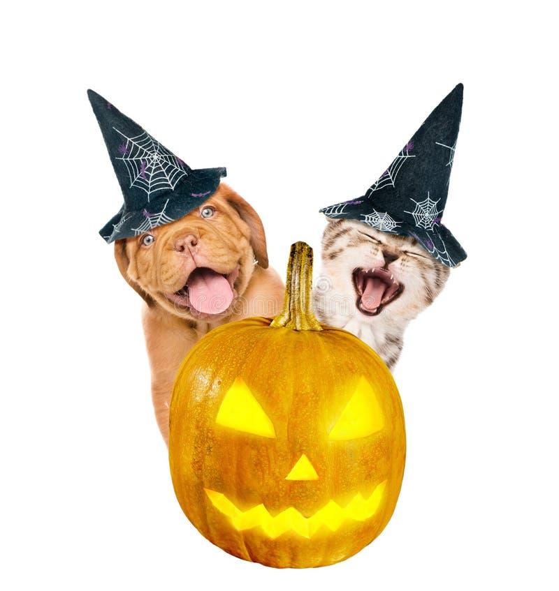O cachorrinho e o gatinho do Bordéus com o chapéu para o Dia das Bruxas espreitam para fora atrás de uma abóbora Isolado no fundo foto de stock