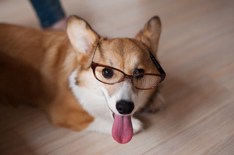 O cachorrinho engraçado do Pembroke do Corgi de Galês com vidros dirige, cão de sorriso bonito fotos de stock