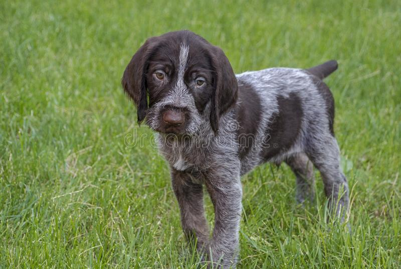 O cachorrinho está na grama verde e nos olhares com olhos tristes imagens de stock