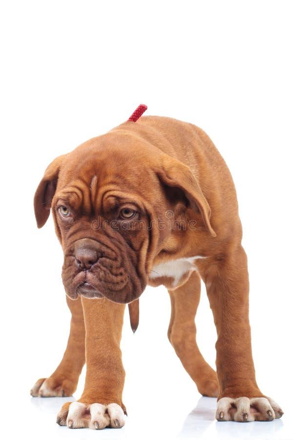 O cachorrinho pequeno curioso de dogue de Bordéus olha para baixo imagens de stock royalty free