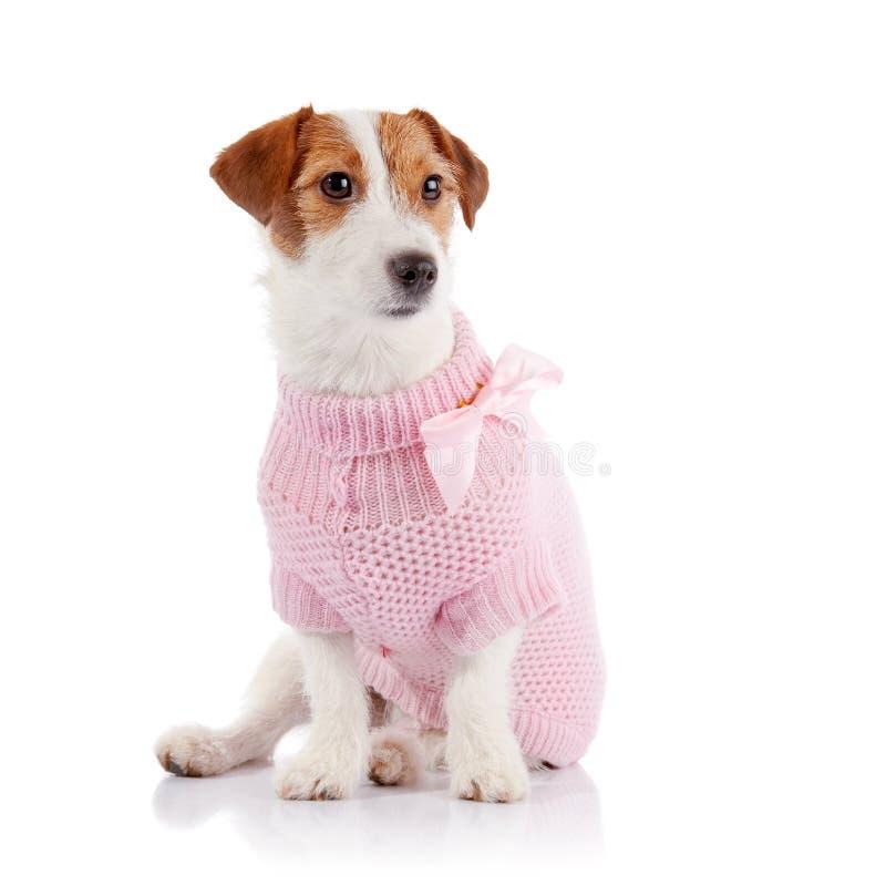 O cachorrinho pequeno da raça Jack Russell Terrier em uma ligação em ponte cor-de-rosa foto de stock