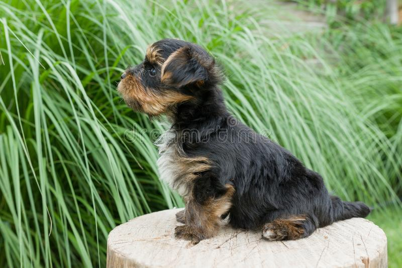 O cachorrinho pequeno na natureza, suportes do yorkshire terrier lateralmente, no close-up do perfil, cão aumentou sua cauda fotografia de stock