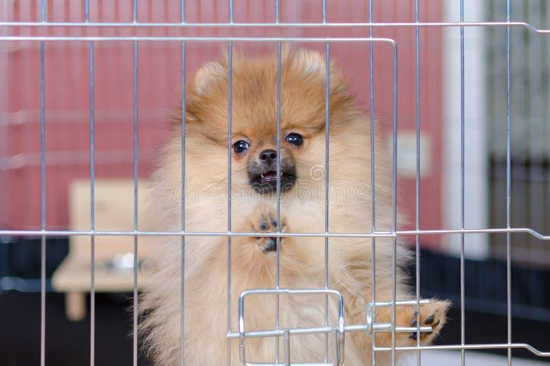 O cachorrinho pomeranian bonito está estando em um aviário e em uma vista foto de stock royalty free