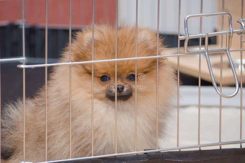 O cachorrinho pomeranian bonito está sentando-se em um aviário e em uma vista fotografia de stock