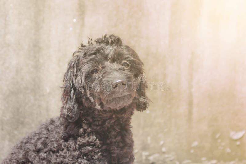 O cachorrinho preto da caniche está sentando-se fora, fazendo a luz suave fotografia de stock royalty free