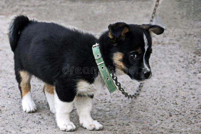 O cachorrinho preto e branco macio bonito com um olhar pensativo inteligente guarda a casa de seus proprietários imagens de stock