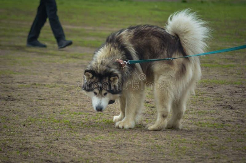 O cachorrinho produzido Malamute tornou-se interessado no que estava indo sobre atrás dele e girou-se ao redor foto de stock royalty free