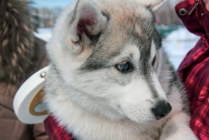 O cachorrinho ronco bonito olha ao redor Retrato Trela visível foto de stock royalty free