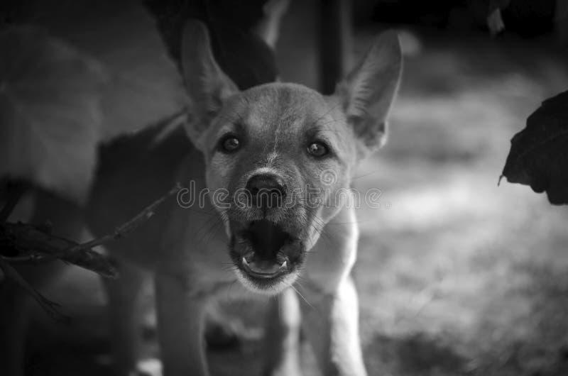 O cachorrinho tão insolente atacar o tiro do quando do fotógrafo imagem de stock