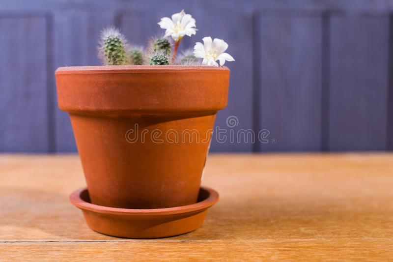 O cacto é flor foto de stock royalty free