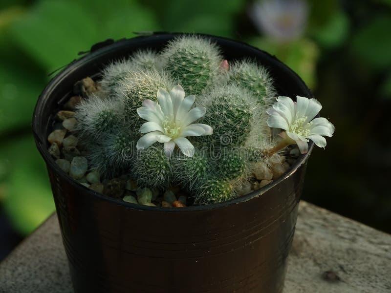 O cacto de Mammilaria que é crescido em uns potenciômetros pequenos pode florescer fotografia de stock