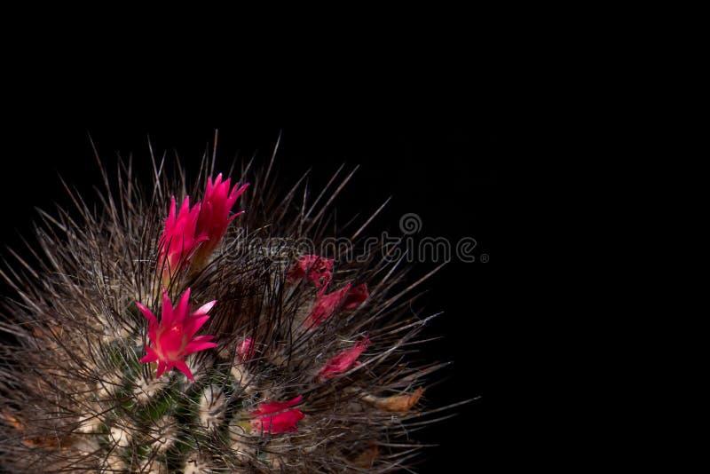 O cacto floresce flores vermelhas coloridas no fundo preto Florescência lindo Cor do chocolate do cacto com as agulhas pretas lon foto de stock royalty free