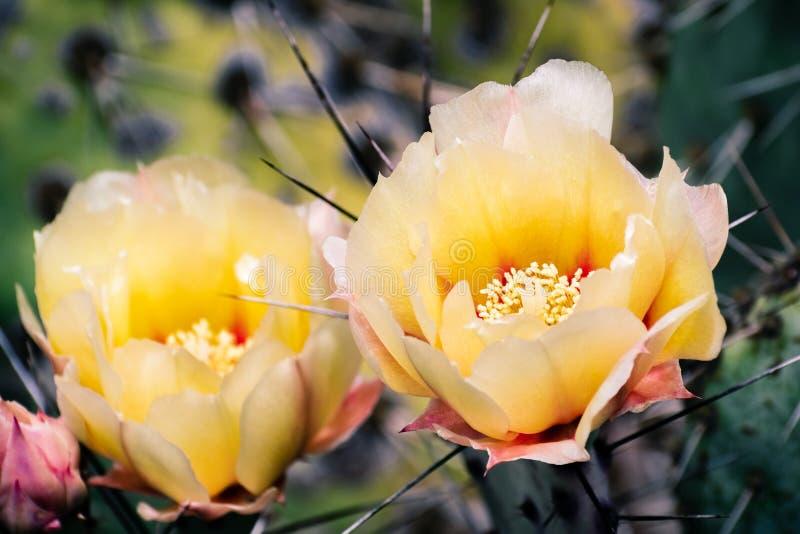 O cacto fragilis do Opuntia da pera espinhosa floresce, Calif?rnia imagem de stock