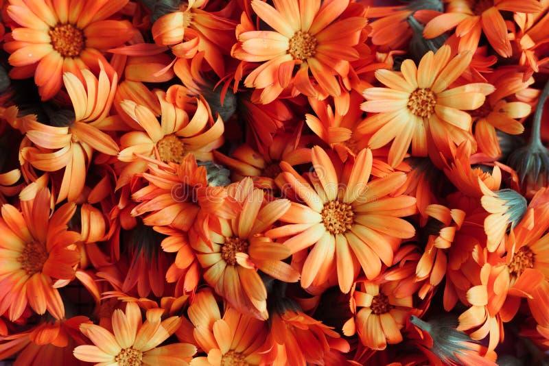 O Calendula secou as ervas das flores ou o cravo-de-defunto dispersadas, vista superior imagem de stock royalty free