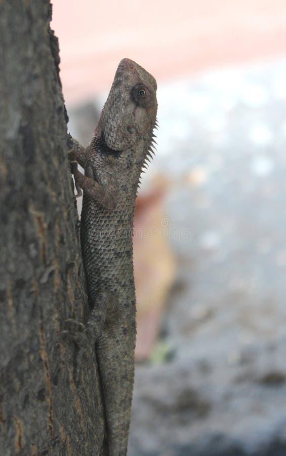 O camaleão é um réptil em mudança da cor imagem de stock