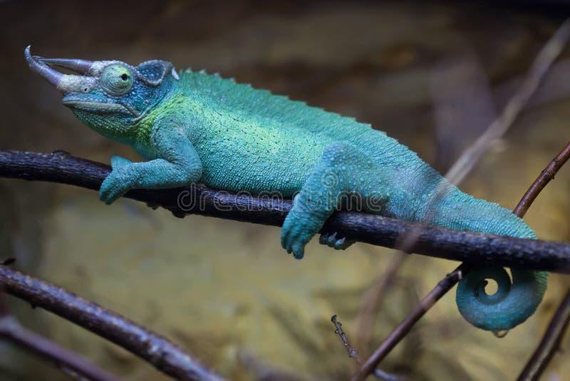 O camaleão de Jackson (jacksonii de Trioceros) fotos de stock
