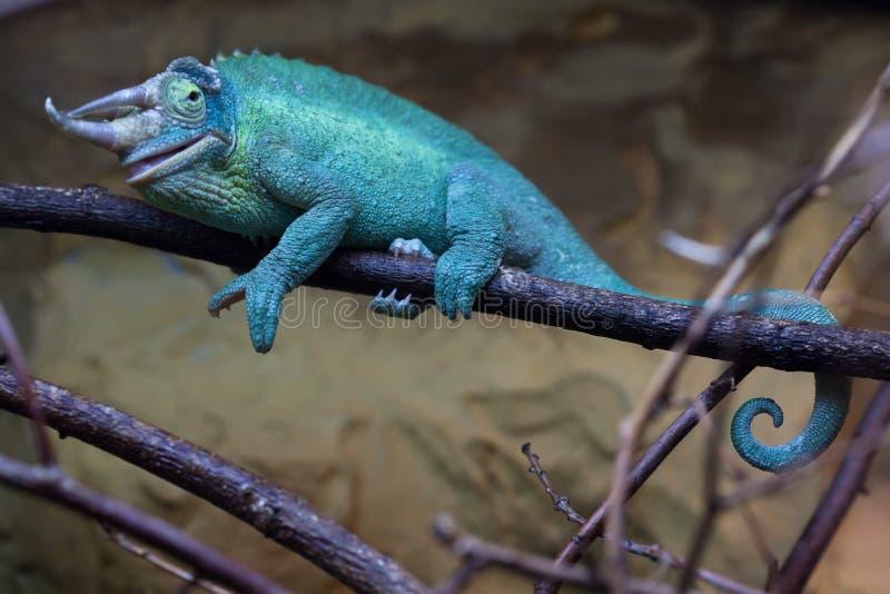O camaleão de Jackson (jacksonii de Trioceros) fotografia de stock royalty free