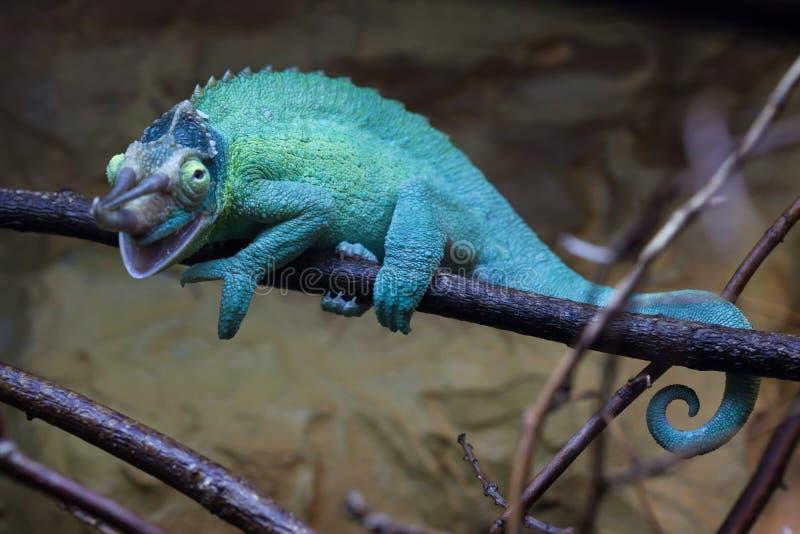 O camaleão de Jackson (jacksonii de Trioceros) fotografia de stock