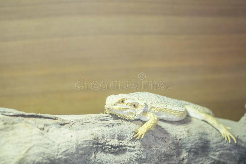 O camaleão do close up adere-se na madeira a parede de madeira no fundo textured borrado com espaço da cópia imagens de stock