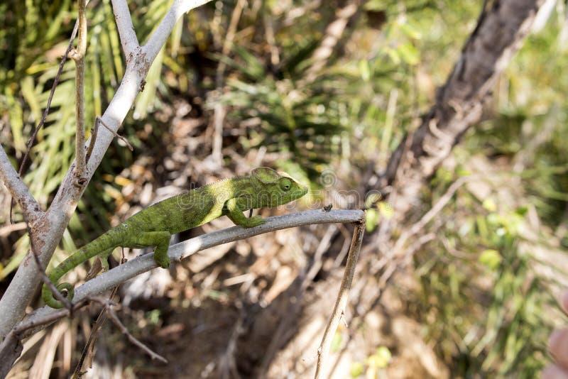 O camaleão do ` s de Petter, Furcifer Petteri é relativamente abundante nas áreas costais de Madagáscar do norte imagens de stock