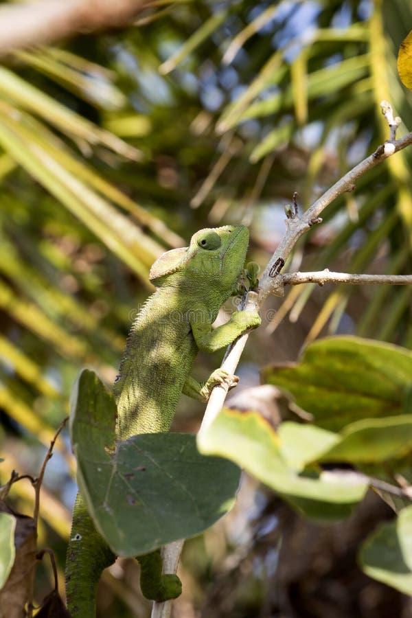 O camaleão do ` s de Petter, Furcifer Petteri é relativamente abundante nas áreas costais de Madagáscar do norte foto de stock