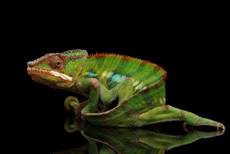 O camaleão engraçado da pantera, réptil guarda em sua cauda, preto isolado fotografia de stock royalty free