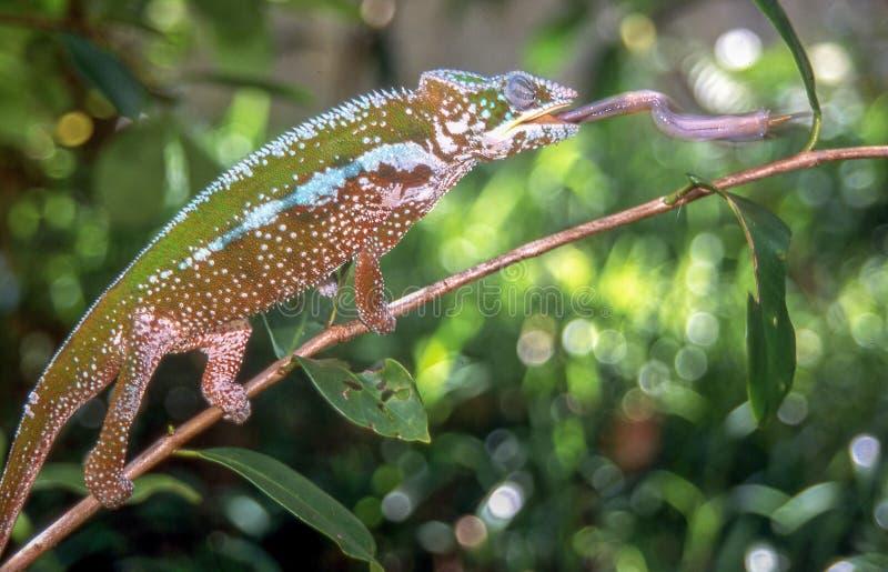 O camaleão está travando um grilo estendendo sua língua em Madagáscar foto de stock royalty free