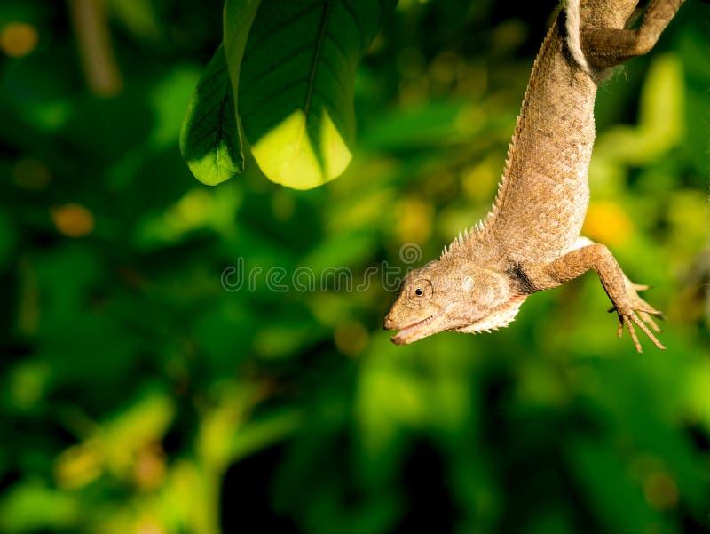 O camaleão estava pendurando no jardim fotos de stock royalty free