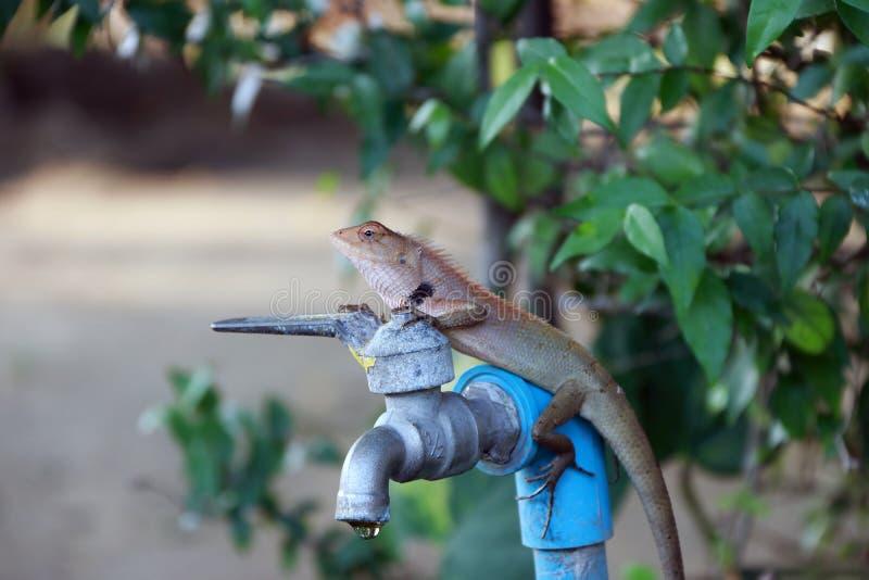 O camaleão tailandês no verde do torneira e da natureza do fundo sae é um lagarto pequeno do Velho Mundo com uma cauda preênsil imagem de stock royalty free