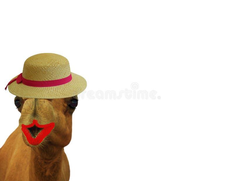 O camelo engraçado com olho chicoteia o batom e um chapéu de palha isolado em um fundo branco grande para cartões ou edição imagens de stock