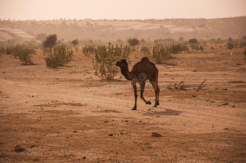 O camelo no deserto de Thar foto de stock