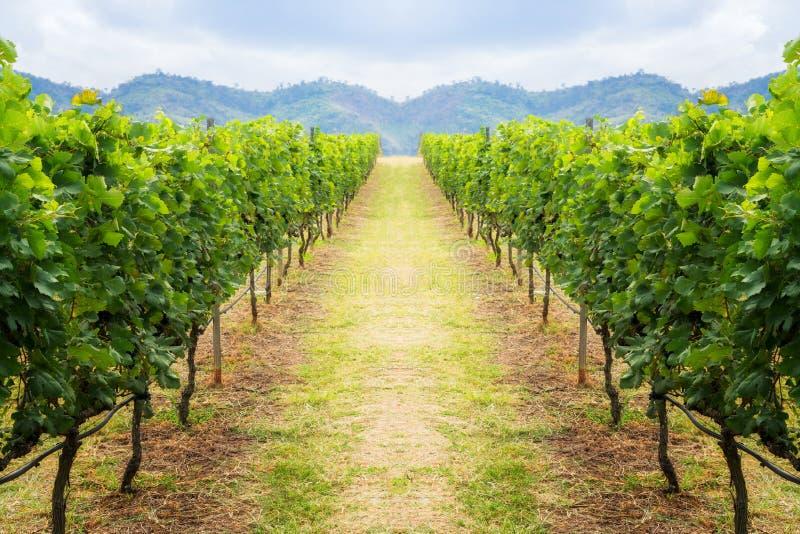 O caminho do vinhedo e o fundo da montanha ajardinam no monte imagens de stock