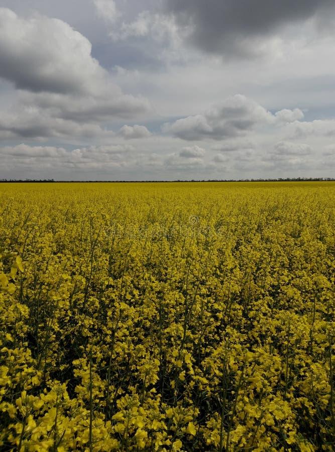 O campo é pontilhado com as flores amarelas brilhantes fotografia de stock
