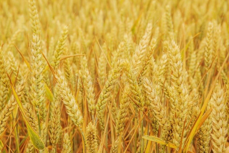 O campo com as orelhas maduras douradas do trigo fecha-se acima imagem de stock