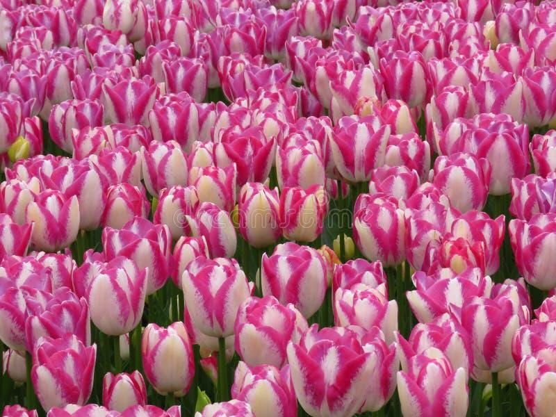 O campo cor-de-rosa branco de surpresa das tulipas da flor do pêssego disparou Flor bonita da mola no dia de mola ensolarado no j imagem de stock royalty free