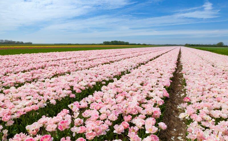 O campo cor-de-rosa da tulipa sob um azul nublou-se o céu foto de stock