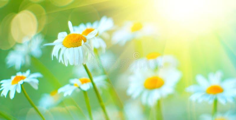 O campo da camomila floresce a beira A cena bonita da natureza com as camomilas de florescência no sol alarga-se foto de stock royalty free