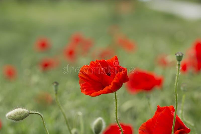 O campo da papoila de milho vermelha brilhante floresce no verão Rhoeas do Papaver fotos de stock