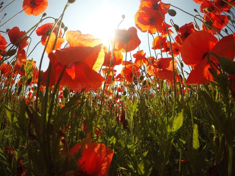 O campo da papoila de milho vermelha brilhante floresce no ver?o foto de stock royalty free